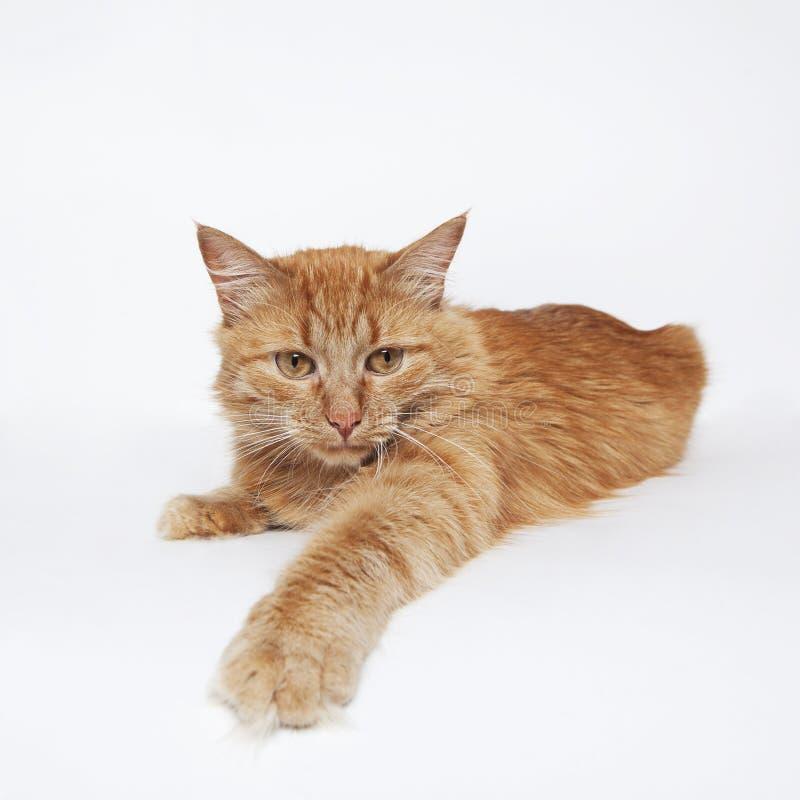 Die rote flaumige Katze versucht, eine Tatze zu fangen etwas stockfotografie