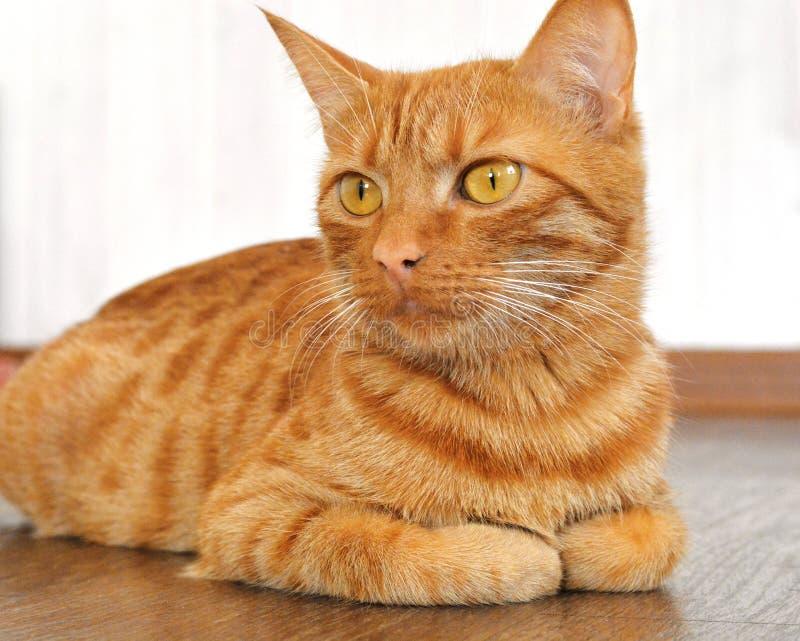Die rote Katze liegt auf einem braunen Boden gegen eine weiße Wand Horizontale Fotografie innerhalb des Hauses lizenzfreie stockbilder