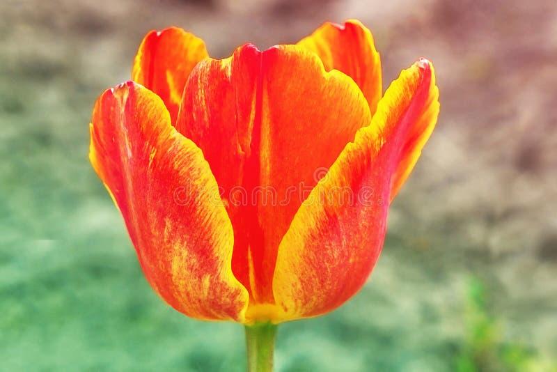 Die rote Tulpe schaut nah stockfotografie