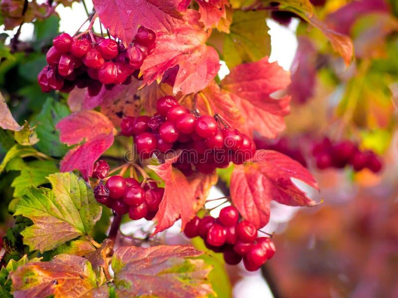 Buntes Herbstblatt Unter Roten Beeren Stockfoto Bild von