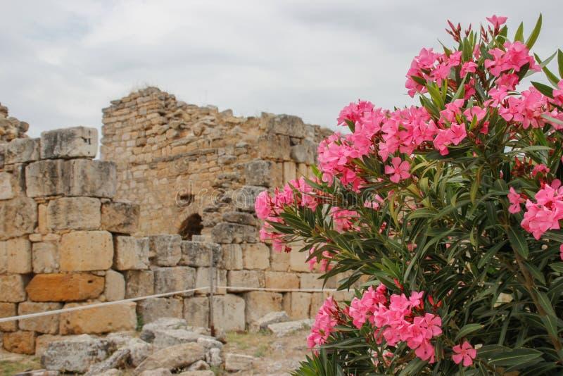 Die Ruinen der altgriechischen Stadt von Hierapolis in Pamukkale Denizli, in der Türkei und in einem Busch von rosa Blumen lizenzfreies stockfoto