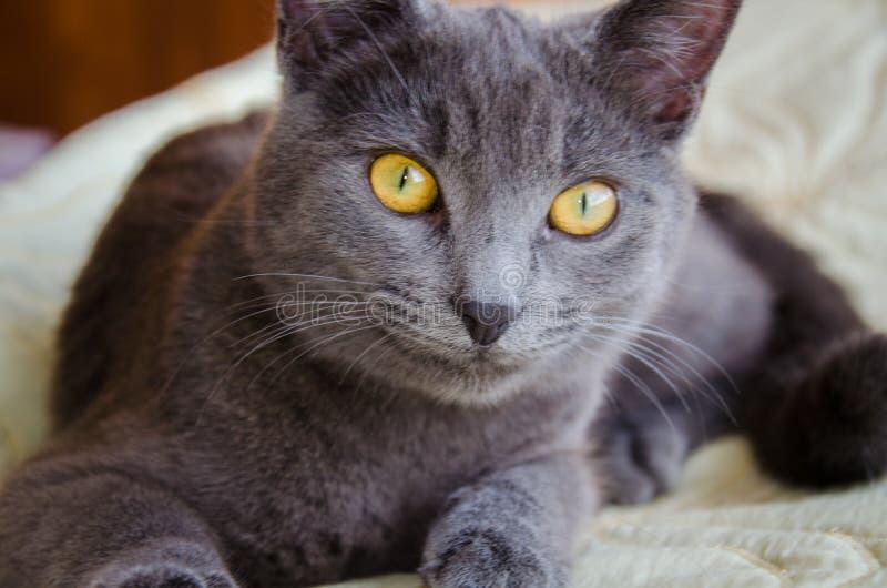 Die Russische Blaue Katze Mit Gelben Augen Stockfoto