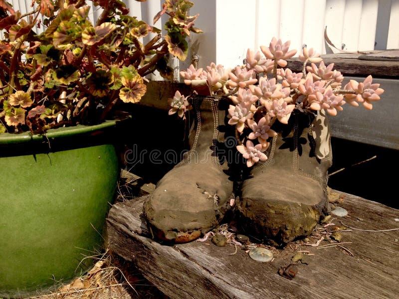 Die saftigen Kaktuspflanzen, die in den alten Stiefeln auf Bauholz wachsen, tritt stockbild