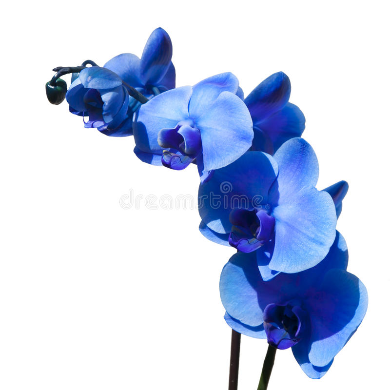 Die schöne blaue Orchidee lokalisiert auf weißem Hintergrund lizenzfreies stockfoto