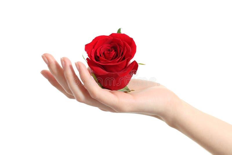 Schöne Frauenhand, die eine rote Rose hält lizenzfreie stockfotos