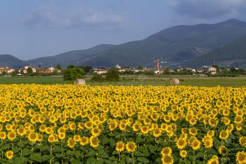 Die schöne Landschaft um Bientina, mit Sonnenblumen und Heuballen in der Sommersaison, Pisa, Toskana, Italien stockfotos