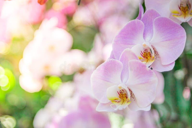 Die schöne Orchidee, die im Garten, kann verwendet für greeti purpurrot und rosa ist stockfotografie