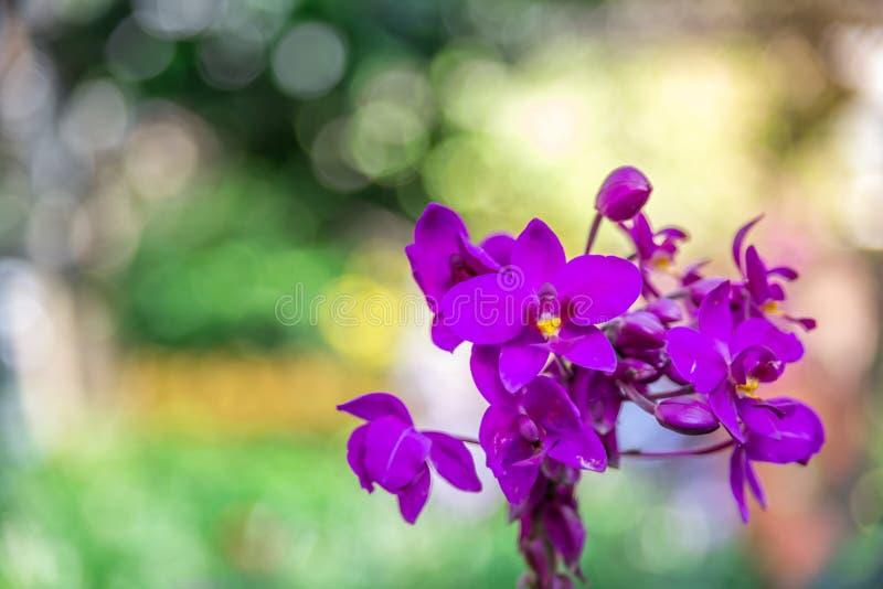 Die schöne Orchidee, die im Garten, kann verwendet für greeti purpurrot und rosa ist stockfoto
