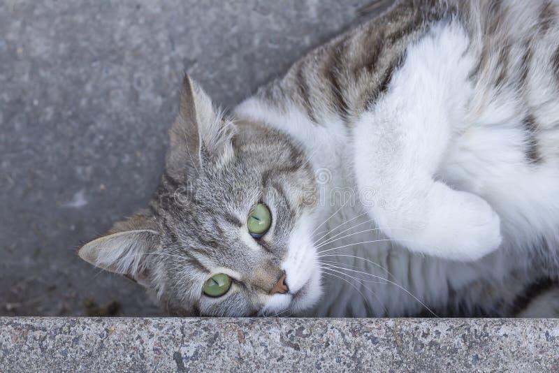 Die schöne, reizende, graue weiße gestreifte Katze mit grünen Augen liegt auf einem Kamin stockfotos