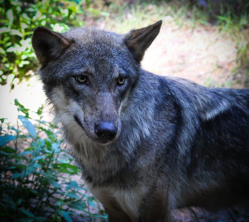 Die schönen Augen eines grauen Wolfs stockfoto