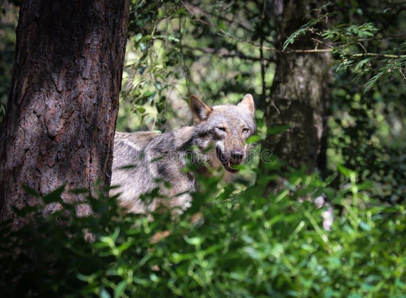 Die schönen Augen eines grauen Wolfs stockfotografie
