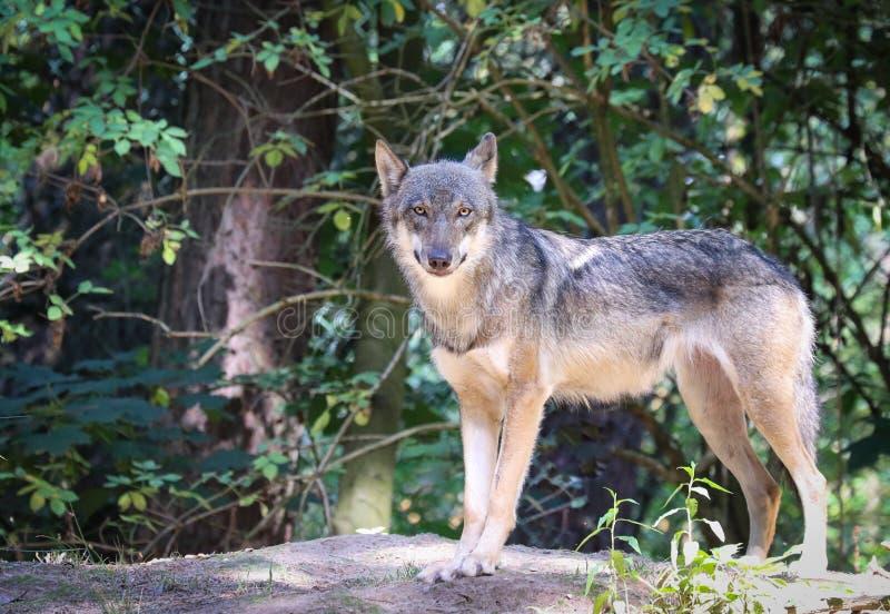 Die schönen Augen eines grauen Wolfs lizenzfreie stockbilder