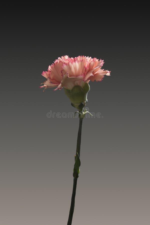 Die schönen rosa purpurroten Gartennelken blühen oder Dianthus caryophyllus, die, auf schwarzem Hintergrund, das Naturstillleben  stockfotografie
