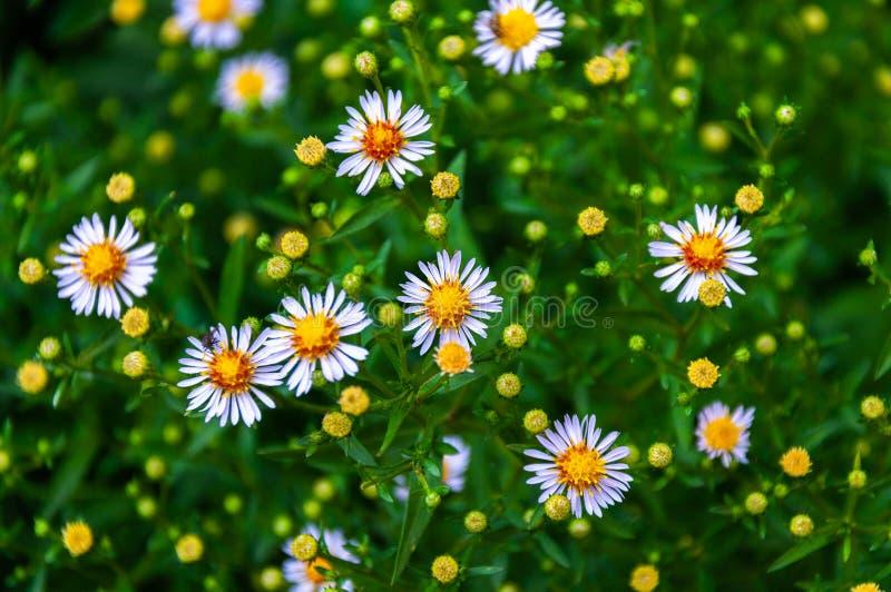 Die Schönheit der Sommerwiese der Gänseblümchen lizenzfreies stockfoto