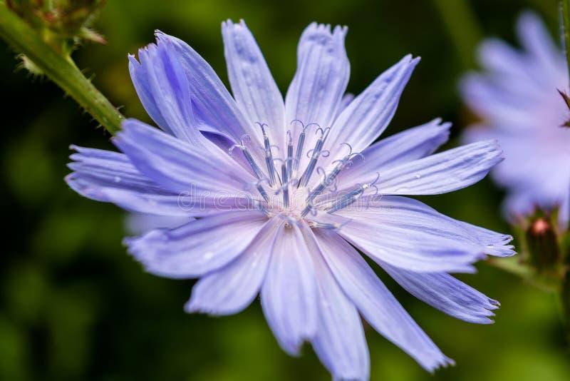 Die Schönheit der Zichorieblume lizenzfreies stockbild