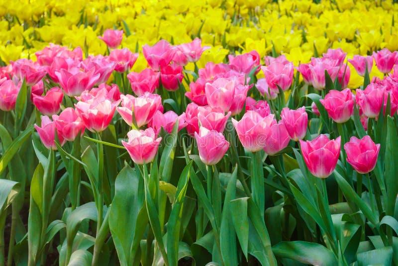 Die sch?nen bl?henden Tulpen im Garten Tulpen blühen nahes oben unter der natürlichen Beleuchtung im Freien stockfotos