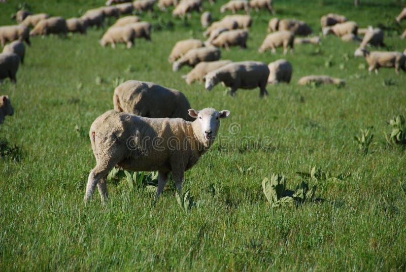 Die Schafe in der Ranch stockfotos