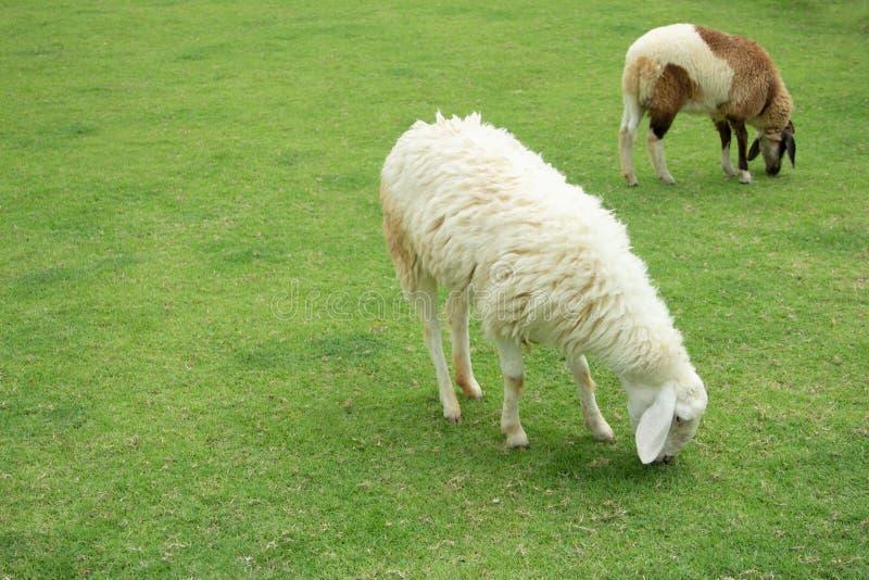 Die Schafe essen Gras in der Weide lizenzfreie stockbilder