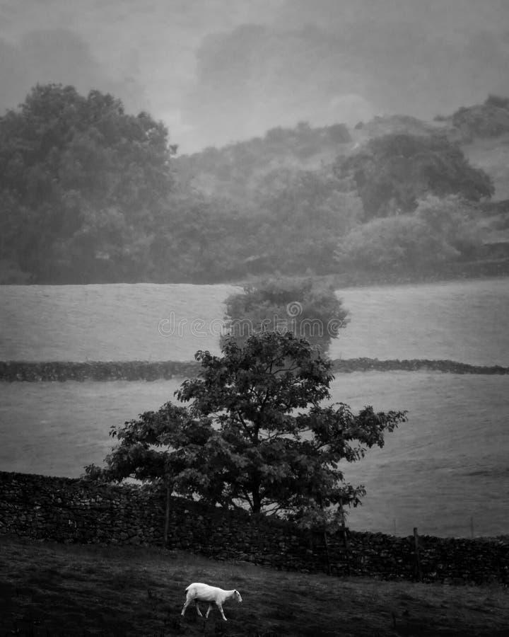 Die Schafe und Misty Tree stockfotos