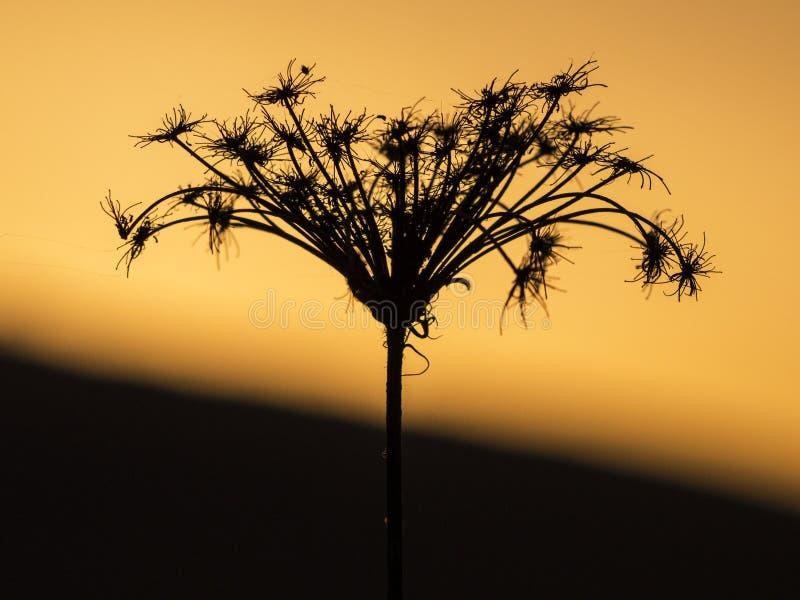 Die Schattenblüten im Sonnenuntergang stockfoto