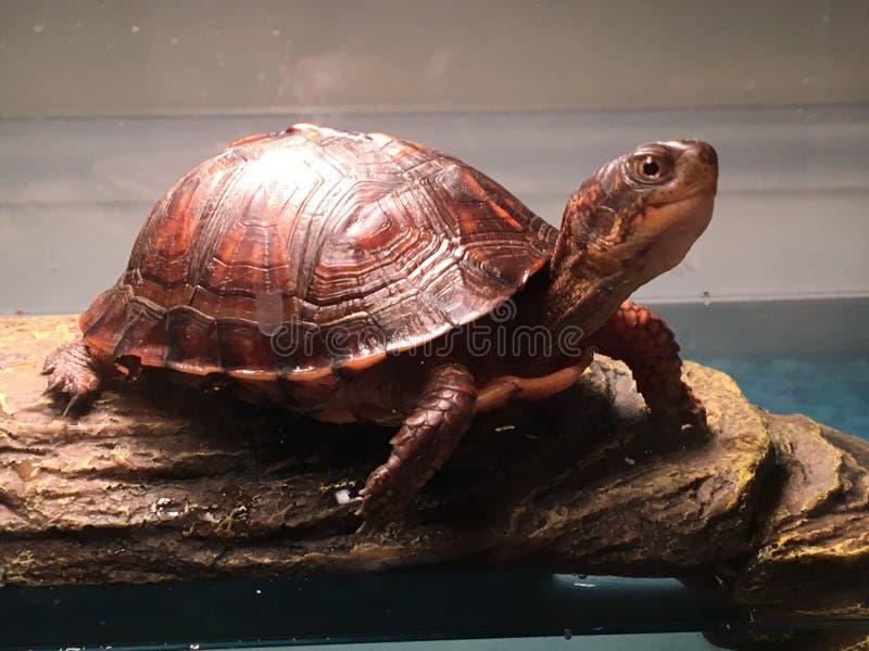 Die Schildkröte lizenzfreie stockfotografie