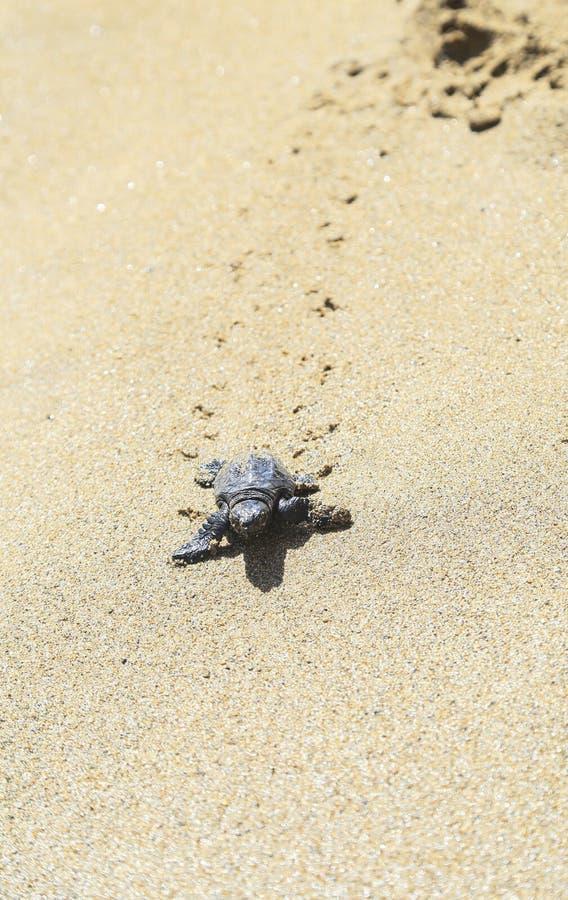 Die Schildkröte stockfotos