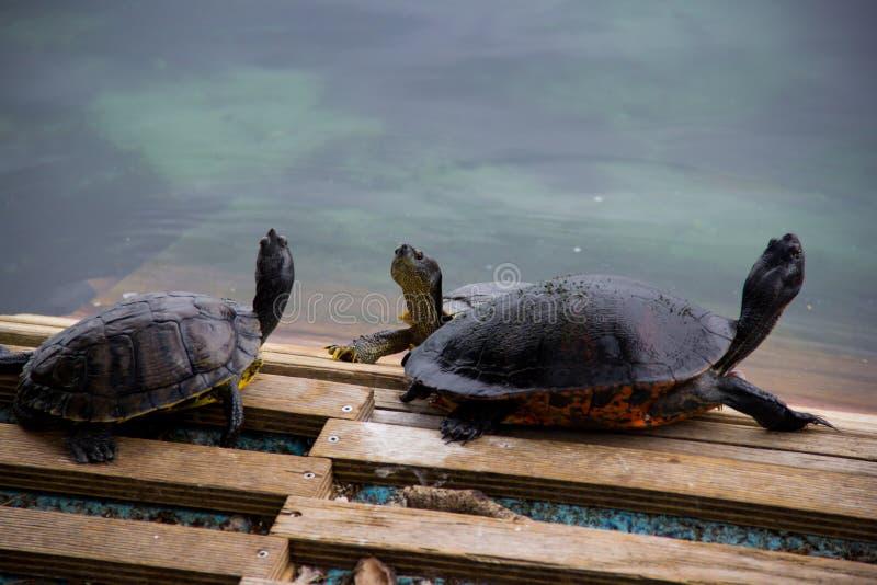 Die Schildkröten lizenzfreie stockfotografie
