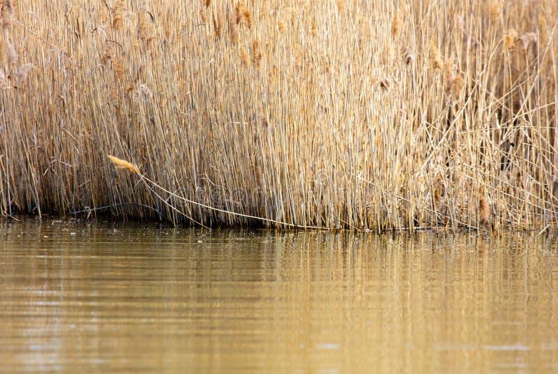 Die Schilf auf dem See stockfotografie