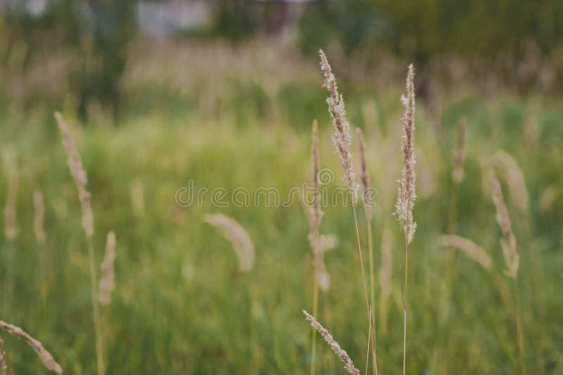Die Schilfe auf dem Hintergrund von grünen Feldern 5498 stockbilder
