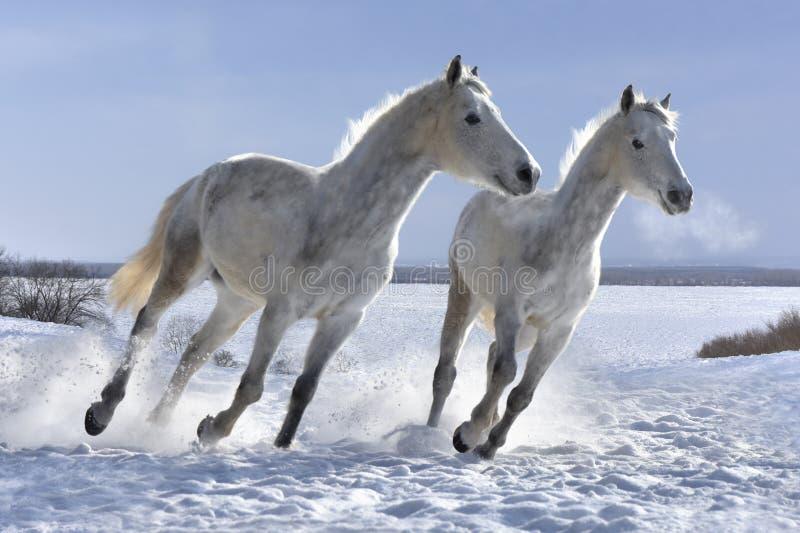 Die Schimmel springend auf weißen Schnee stockfotos