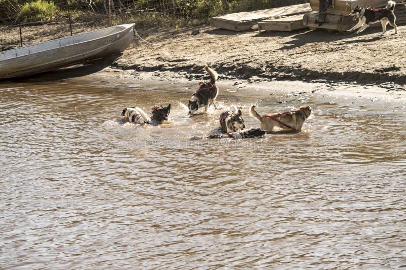 Die Schlittenhunde, die im Wasser spielen lizenzfreies stockfoto