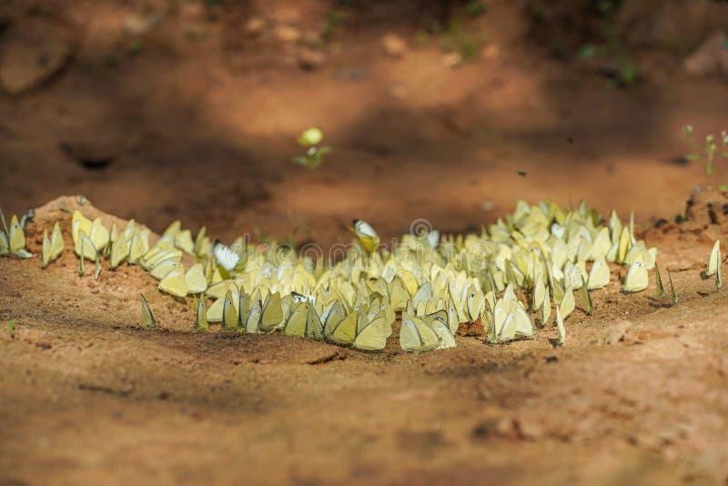 Die Schmetterlinge, die auf Boden stehen, rieben in Nationalpark Pang Sidas, Sakaeo, Thailand lizenzfreies stockbild