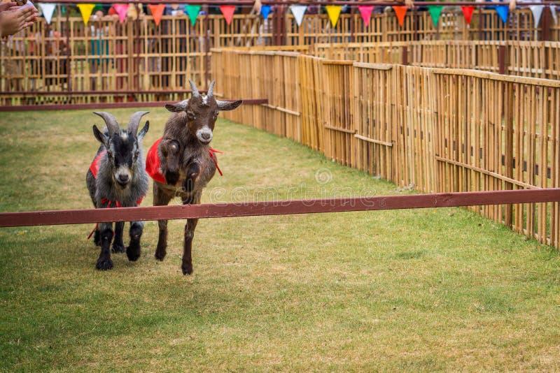 Die schnellste Ziege springt vor einer anderen im Ziegenrennen stockbild