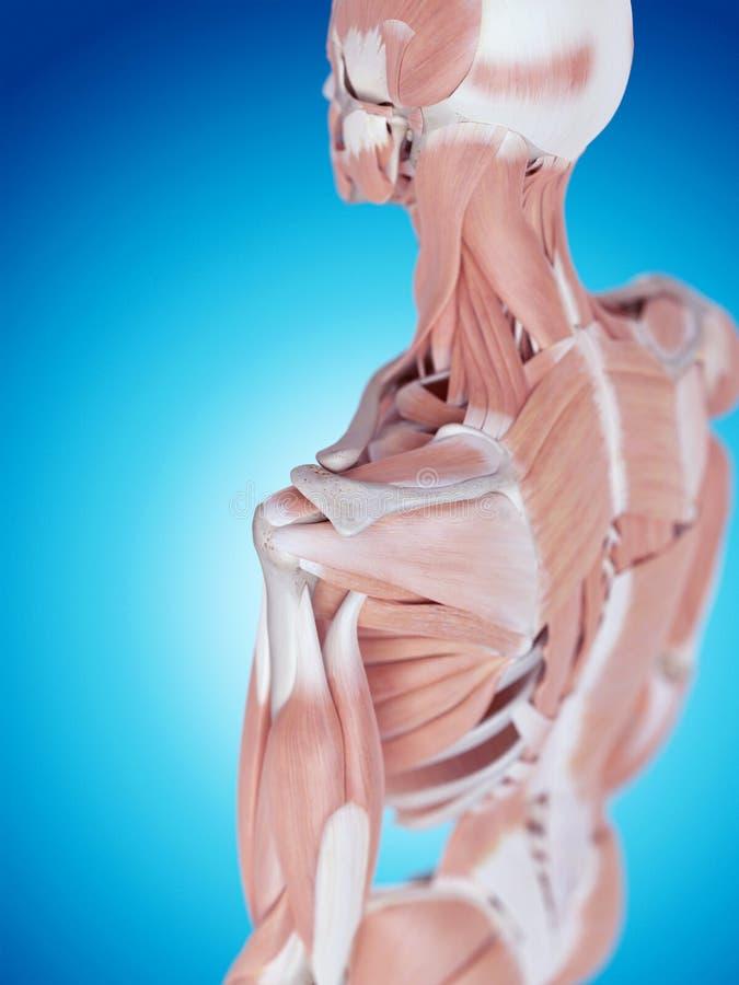 Die Schulteranatomie stock abbildung. Illustration von schulter ...
