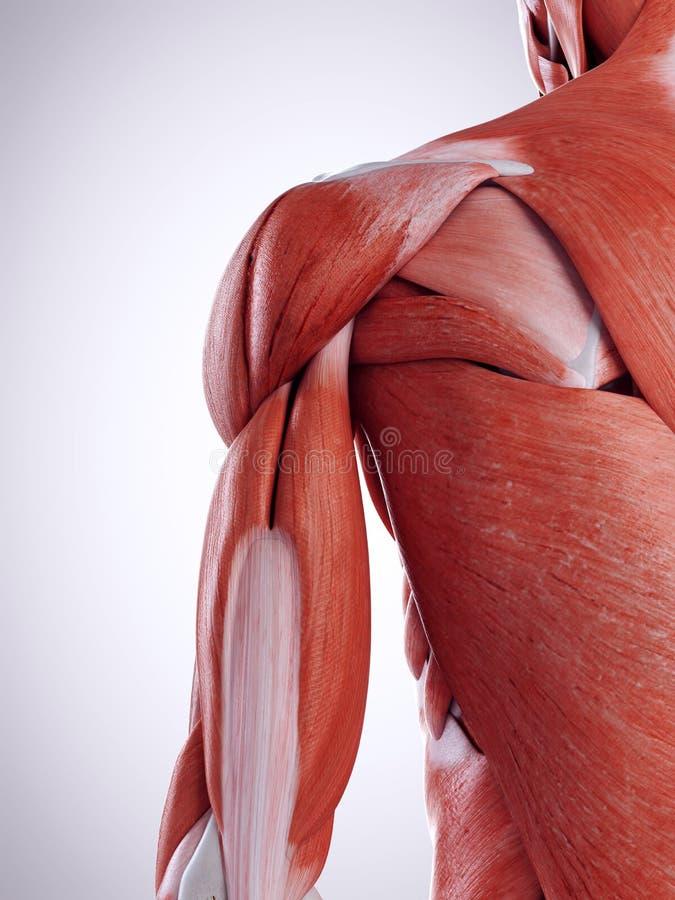 Die Schultermuskeln lizenzfreie abbildung