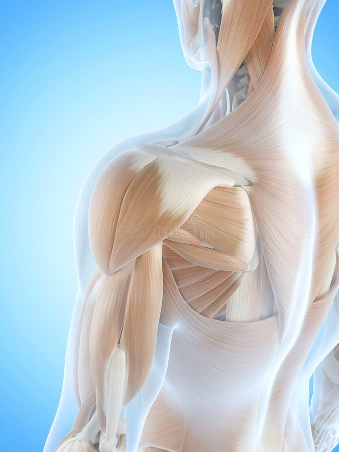 Die Schultermuskeln stock abbildung. Illustration von mann - 39791370