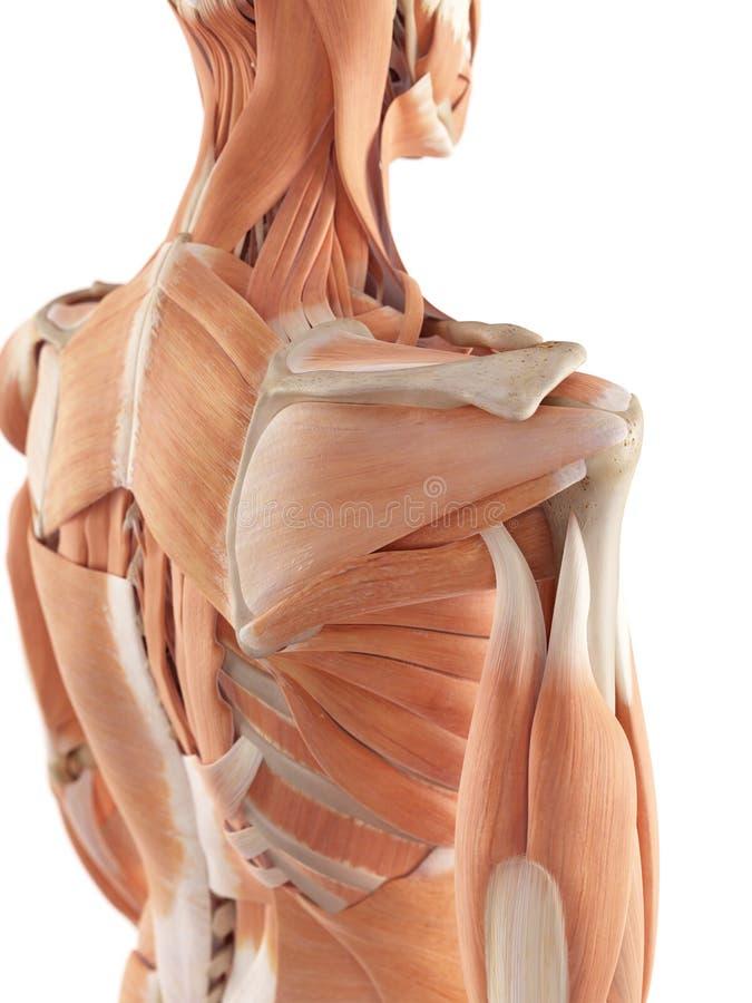 Erfreut Schultermuskel Fotos - Menschliche Anatomie Bilder ...