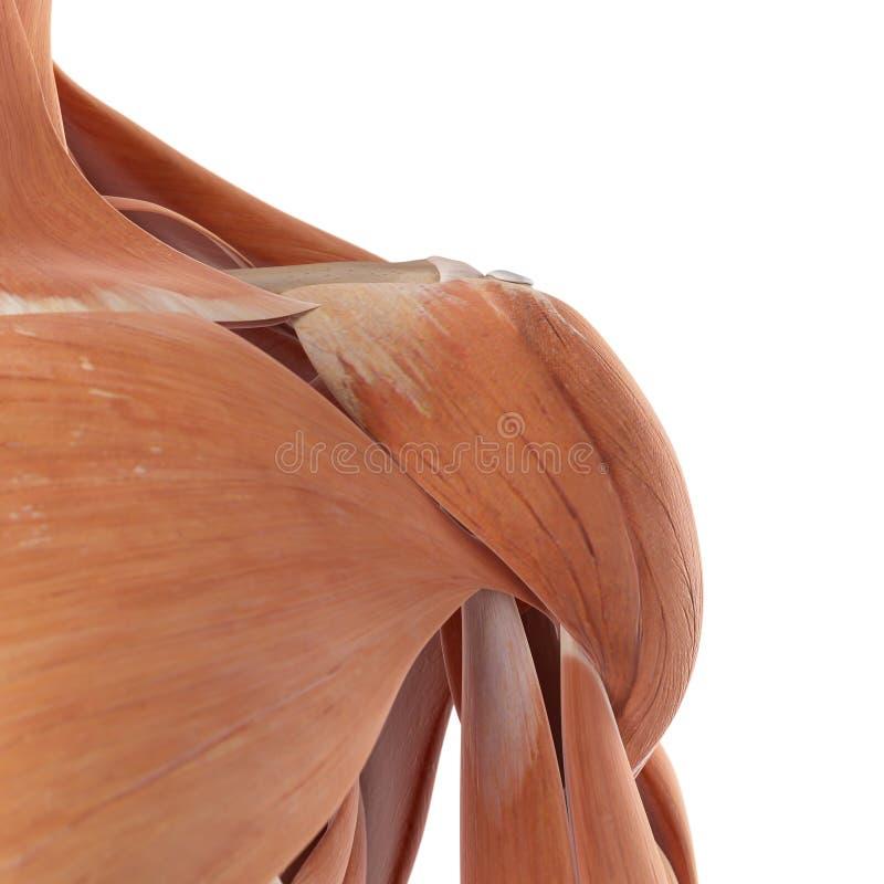Tolle Schultermuskelgruppen Zeitgenössisch - Anatomie und ...