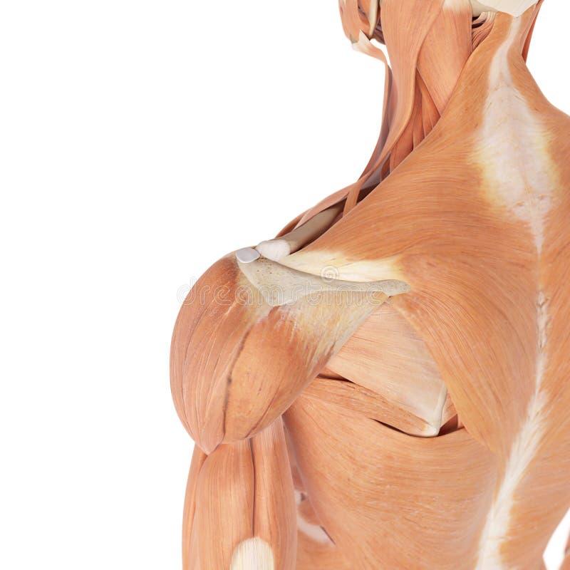Wunderbar Posterioren Schultermuskeln Bilder - Menschliche Anatomie ...