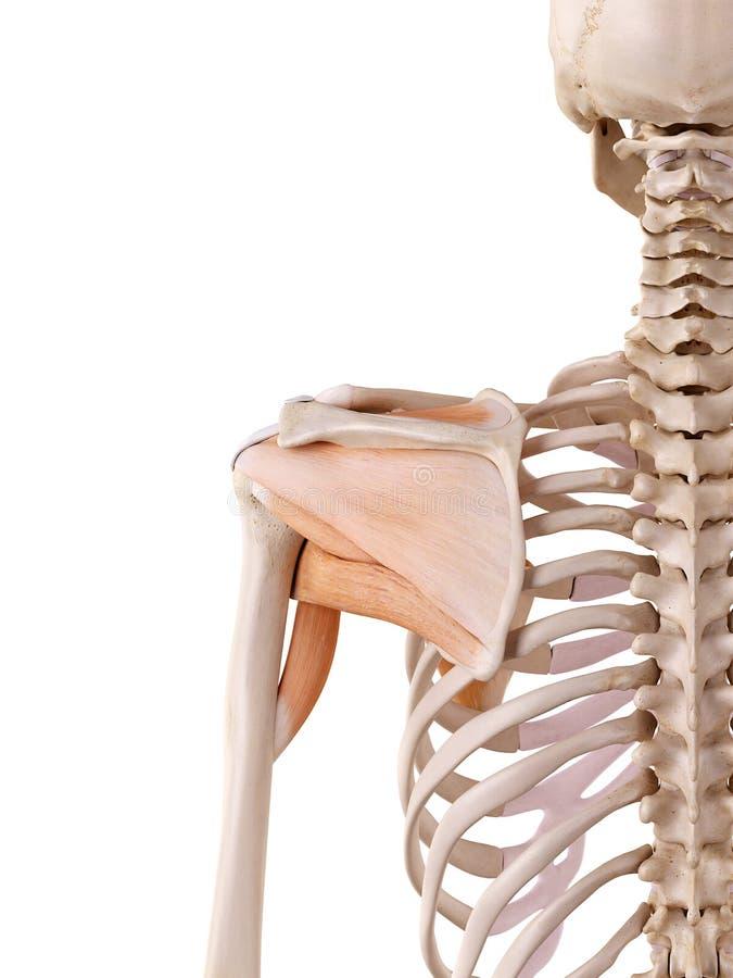 Charmant Diagramm Der Schultermuskeln Fotos - Menschliche Anatomie ...