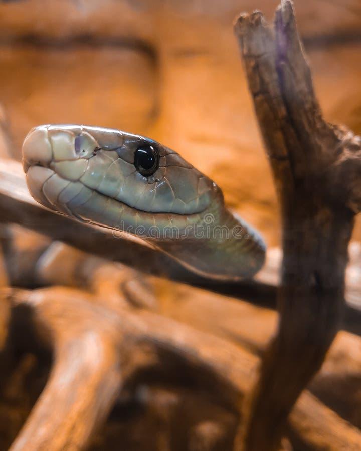 Die schwarze Mamba ist eine der tödlichsten Schlangen auf der Erde lizenzfreies stockfoto