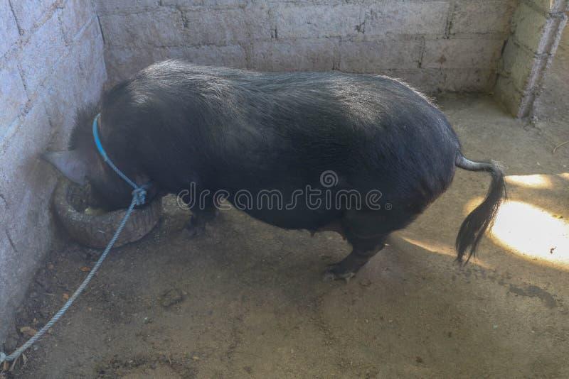 Die schwarze Sau isst von einer Steinabflussrinne in einem Ziegelsteinschweinestall Ein erwachsenes weibliches chinesisches Schwe stockbilder