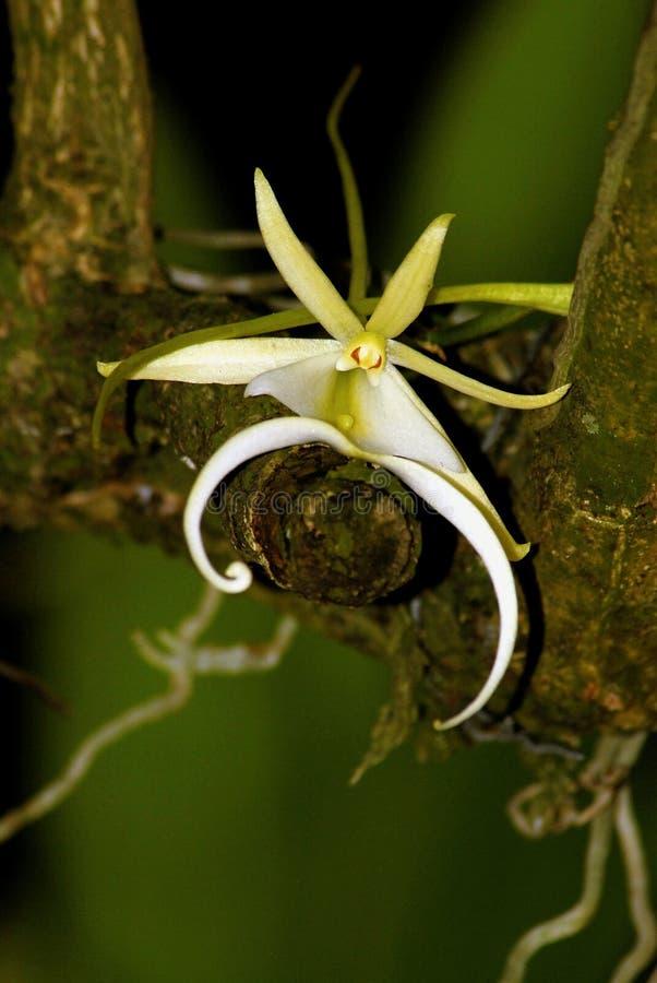 Die schwer bestimmbare Geist-Orchidee stockfotografie