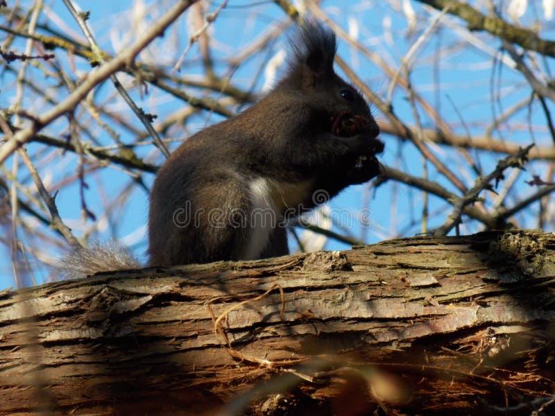 Die schwere Eichhörnchenarbeitskraft stockfotos