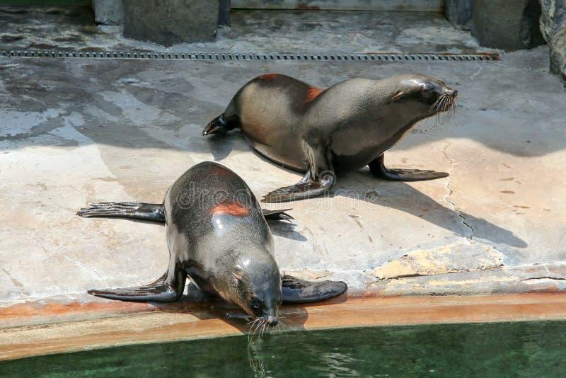 Die Seelöwen durch das Pool lizenzfreies stockbild