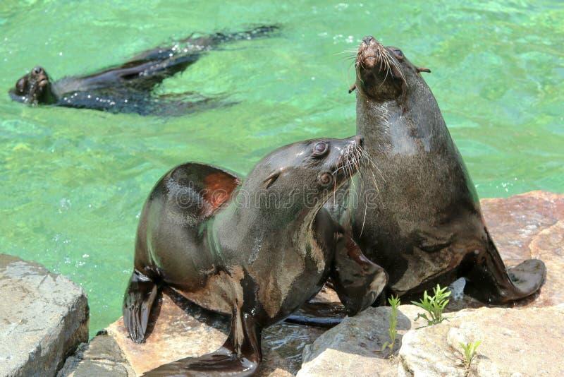 Die Seelöwen durch das Pool lizenzfreie stockbilder