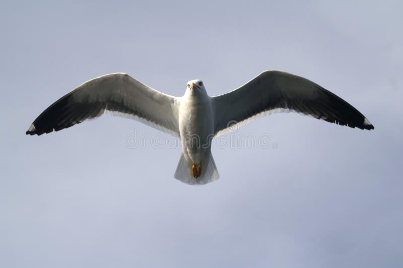 Die Seemöwe im Himmel stockfotos