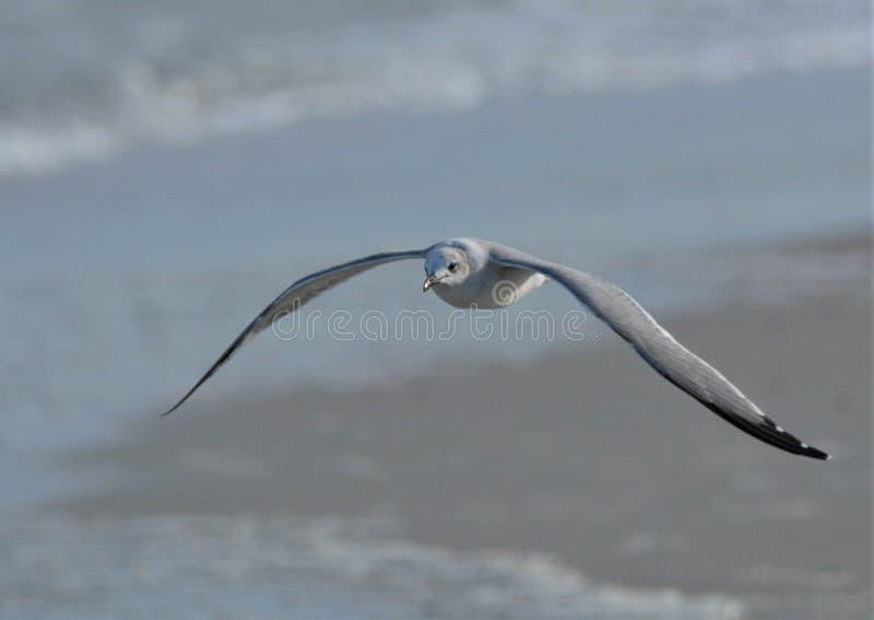 Die Seemöwe schlängelt sich sein Übergang die strandnahe Insel lizenzfreie stockbilder