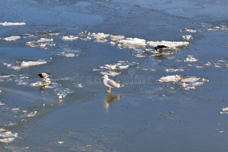 Die Seemöwe und die Krähen gehen entlang den gefrorenen Fluss stockbild