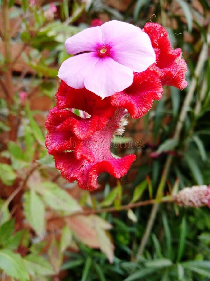 Die Shaniron-Blume stockbild